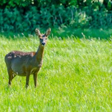 A heavily pregnant roe deer looks at the camera from a green meadow