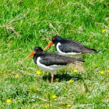 Two oyster catchers walking along the river bank