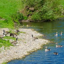A flock of geese land by the River Wharfe