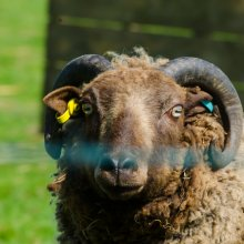 A rare breed tup (ram) in a farm field near Burley in Wharfdale
