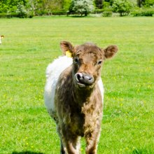 Wharfedale shorthorn calf looks at the camera, whilst licking his nose with his tongue.