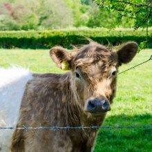 Wharfedale shorthorn calf