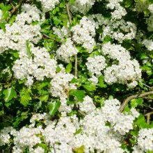 Hawthorn bush in full flower