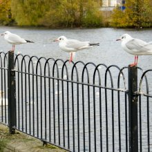 Gulls perched on fence neat Otley riverside gardens