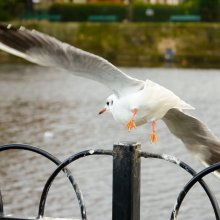 Gull taking flight at Otley riverside gardens