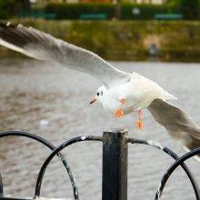 Gull taking flight at Otley riverside gardens
