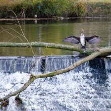 Cormorant spotted near Otley riverside gardens