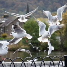Gulls in flight near Otley riverside gardens