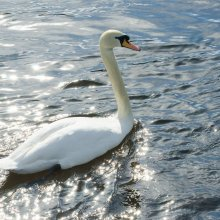 White swan at Otley Riverside Gardens.
