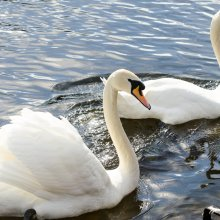 Pair of swans at Otley Riverside Gardens.