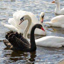 Visiting black sway at Otley Riverside Gardens