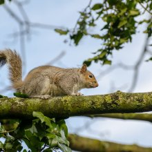 Squirrel scarpering along a tree branch at Gallows Hill Nature Reserve in Otley