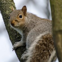 Squirrel climbing a small tree at Gallows Hill Nature Reserve in Otley
