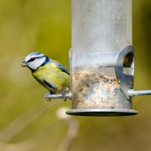 Blue tit perched on bird feeder at Gallows Hill Nature Reserve in Otley