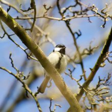 Great tit perched on a branch at Gallows Hill Nature Reserve in Otley