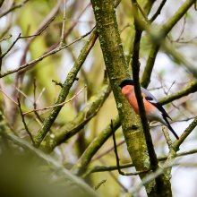 Bull finch perched on a branch at Gallows Hill Nature Reserve in Otley