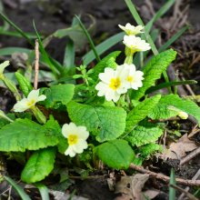 Wild primrose Gallows Hill Nature Reserve in Otley