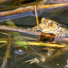 Large toad taking a breather on pond at Gallows Hill Nature Reserve in Otley
