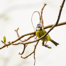 Blue tit perched on a branch at Gallows Hill Nature Reserve in Otley