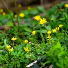 Spring Celendines at Gallows Hill Nature Reserve in Otley