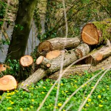 Pile of recently felled logs at Gallows Hill Nature Reserve in Otley
