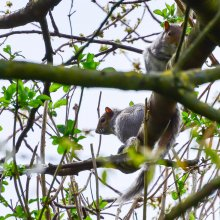 Squirrel climbing a tree at Gallows Hill Nature Reserve in Otley