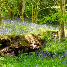 A fallen tree lies amid a swaith of bluebells