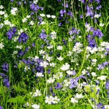 Bluebells and wood anemones
