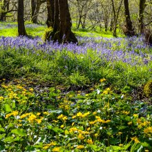 Blue bells in Middleton Woods near Ilkley