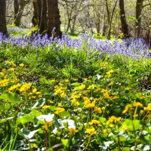 Bluebells in Middleton Woods with bright yellow marsh marigolds in the foreground