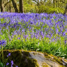 Blue bells in Middleton Woods with a moss covered bolder in the foreground near Ilkley