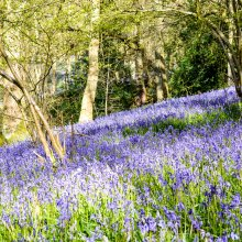 Blue bells in Middleton Woods flowering across a gentle bank near Ilkley