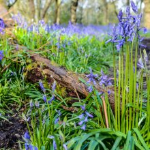 Close of of blue bells standing bolt upright with a fallen branch in the foreground near Ilkley