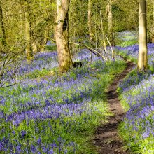 Blue bells in Middleton Woods with a winding track weaving between the trees near Ilkley