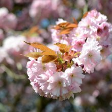 Ilkley Riverside Gardens cherry blossom