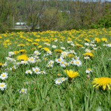 Ilkley lawn flowers; daisies and dandelions