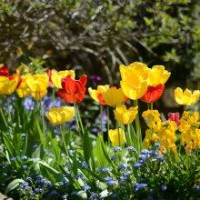 Ilkley tulips