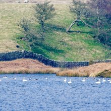 Long distance photo of migrating Mute Swans taking a rest at March Gill Reservoir near Ilkley