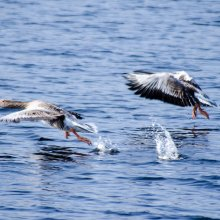 Pair of Greylag Geese taking flight from March Gill Reservoir near Ilkley