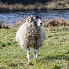 Swaledale sheep around March Gill Reservoir near Ilkley