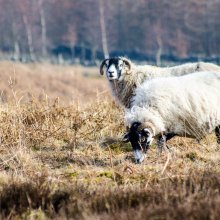 Pair of sheep grazing on Denton Moor near Ilkley