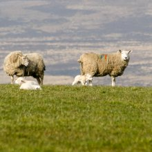 Long disitance photo of two sheep and two newly born lambs with Denton Moor in the background