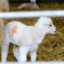 New born lamb in a barn near Ilkley
