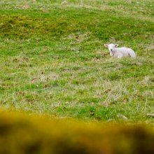 A young lamb sat alone in a field near Grassington